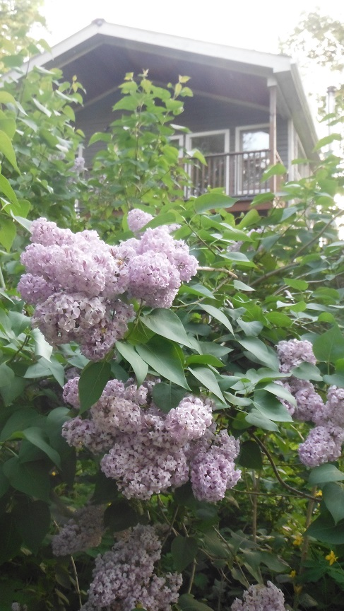 housenlilacs